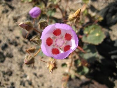 A Five Spot flower