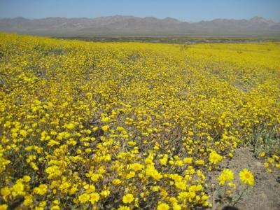 Fields of desert sunflower