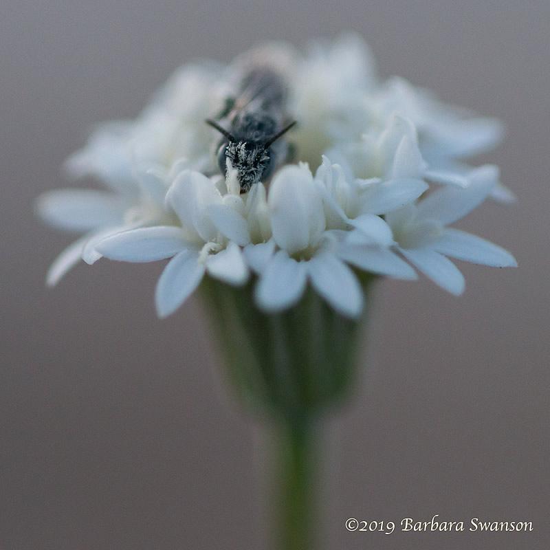 A bee in pincushion, near The Narrows, San Felipe Creek