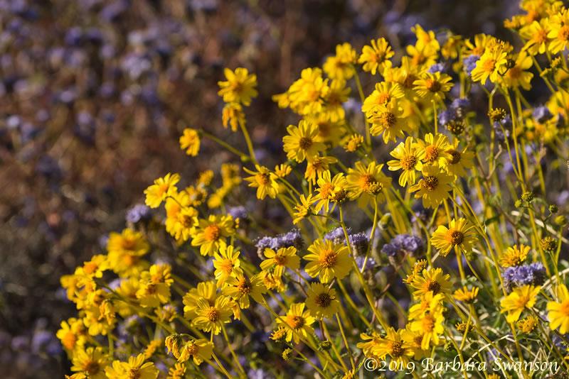Brittlebush sunflowers