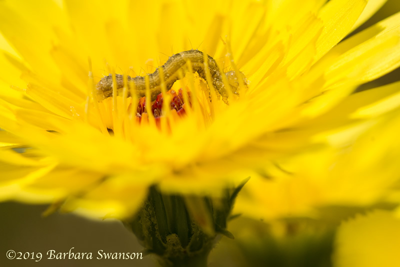 A caterpillar visits the red heart of a dandelion