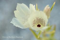 The delicate ghostflower
