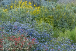 A garden of brittlebush and phacelia