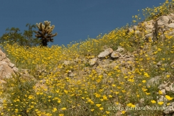 Poppies climb a slope to reach an observant cholla
