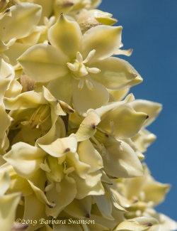 The exotic floral arrangement of the  underappreciated yucca plant