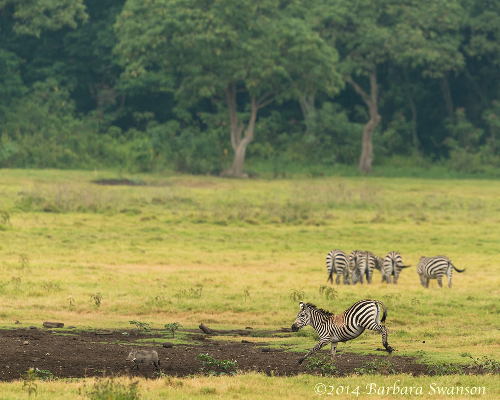 Zebras and warthog