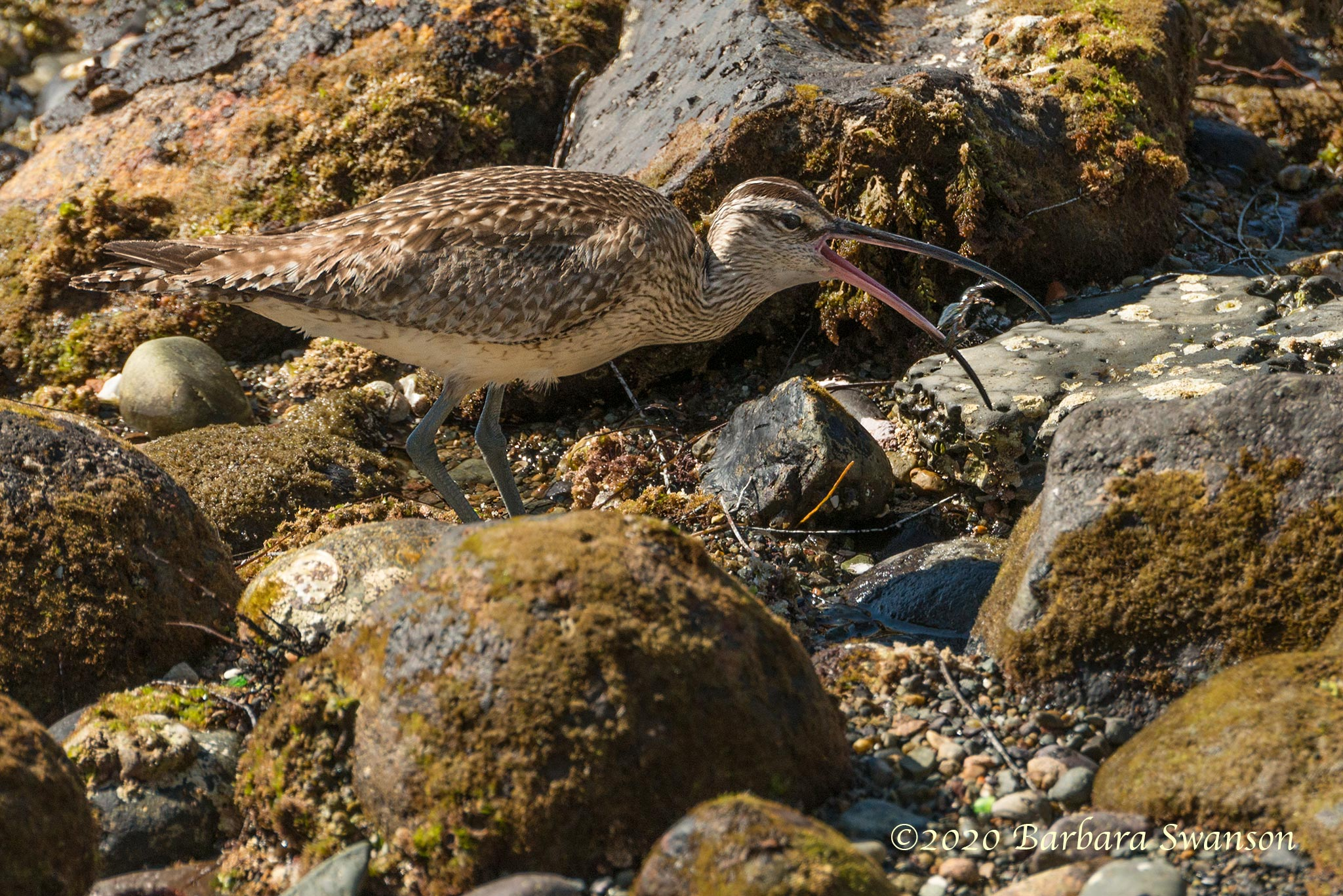 A whimbrel with its crab dinner; it will be swallowed whole, shell and all