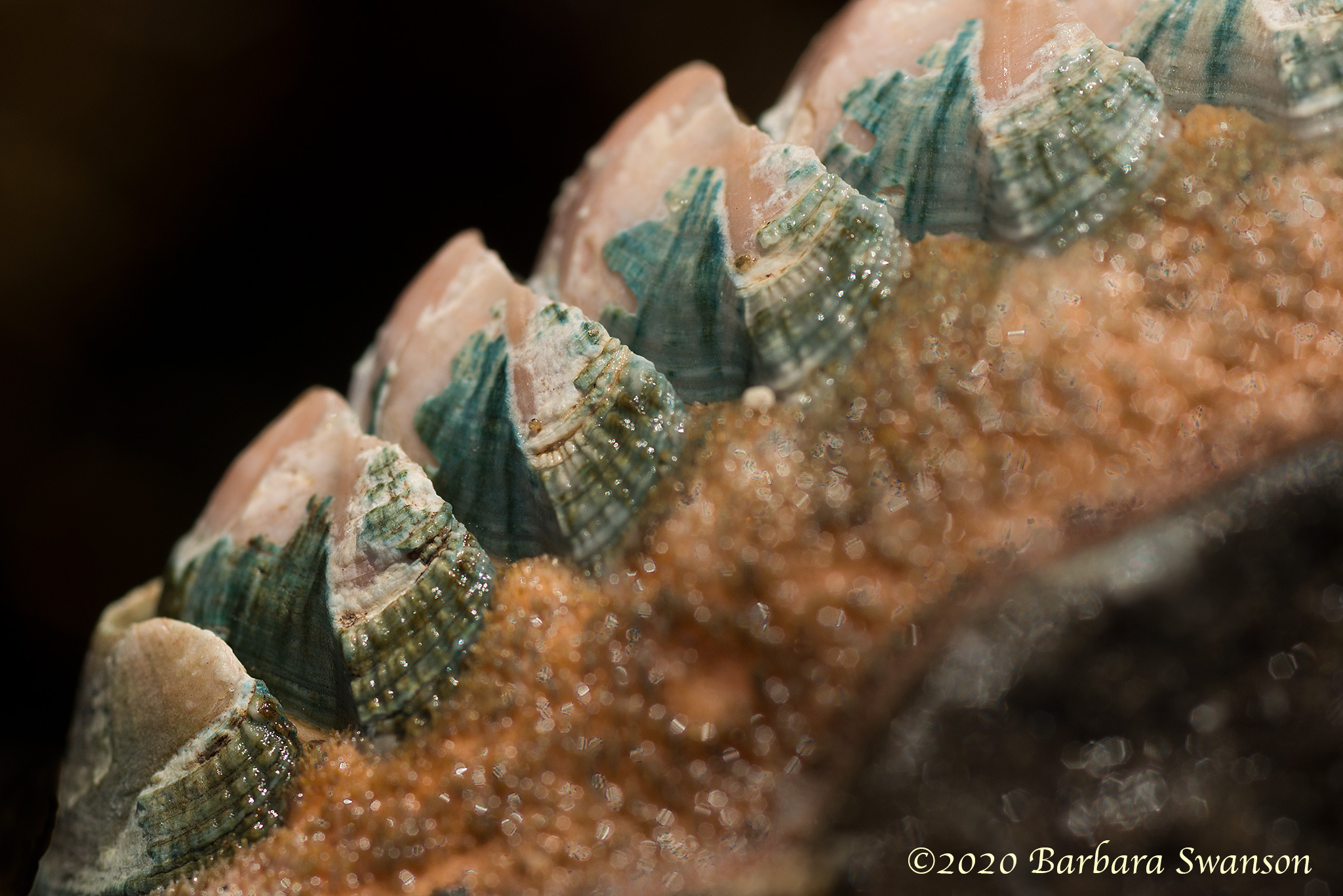 Conspicuous chiton
