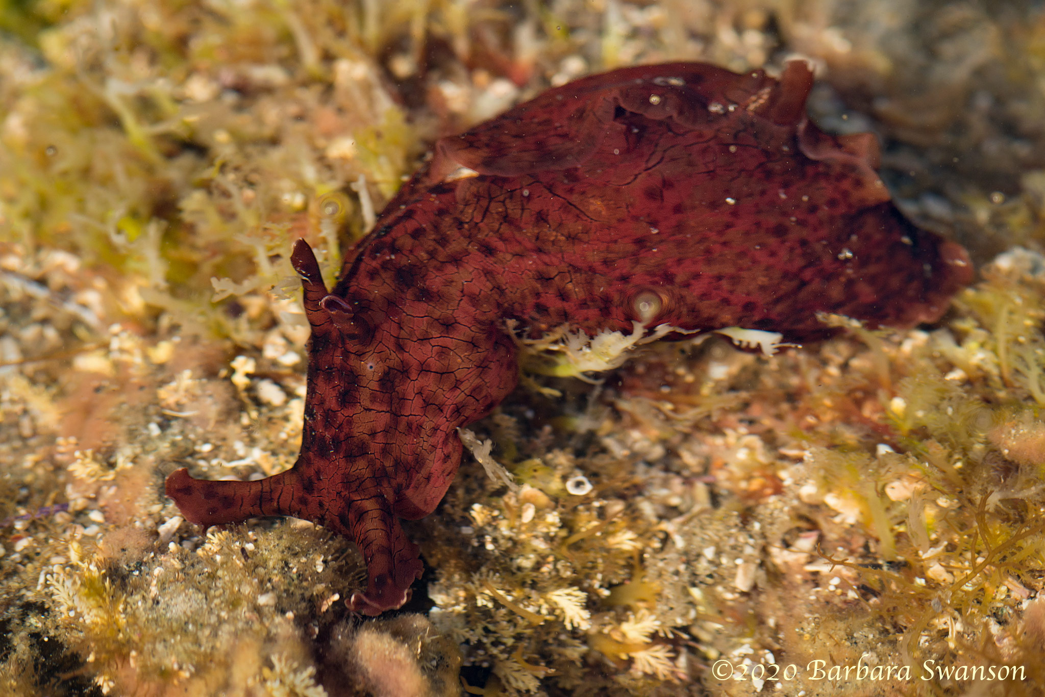 California sea hare