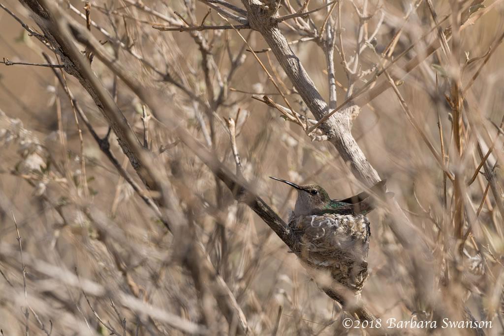 Hummingbird on her nest