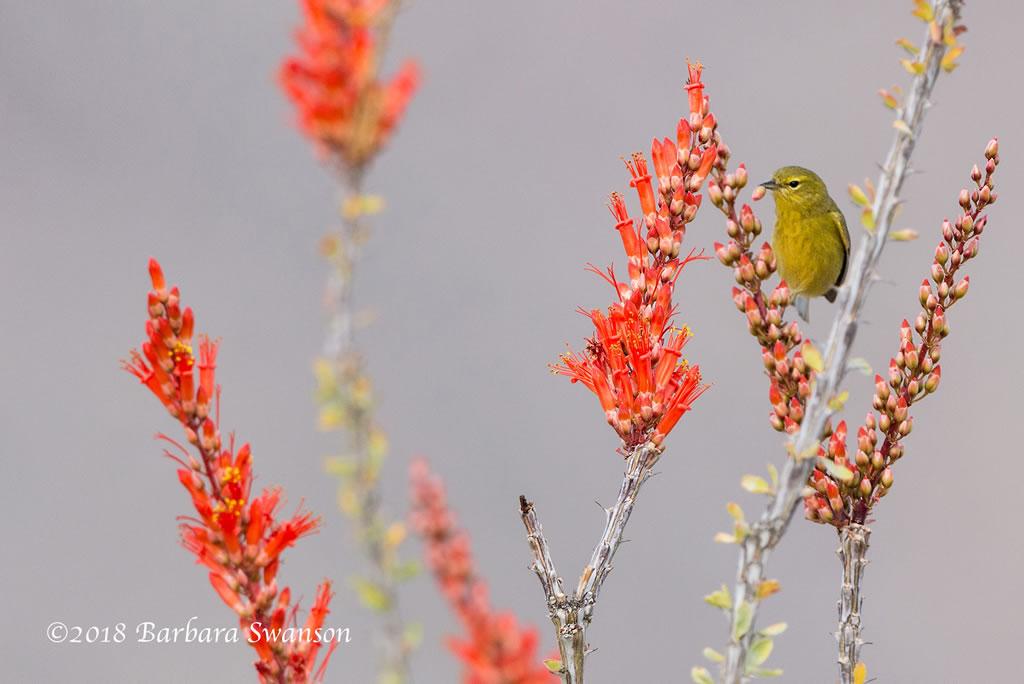 Orange-crowned warbler on ocotillo