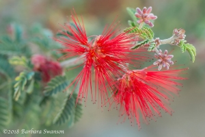 Red Fairy Duster
