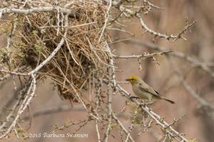 Verdin and nest
