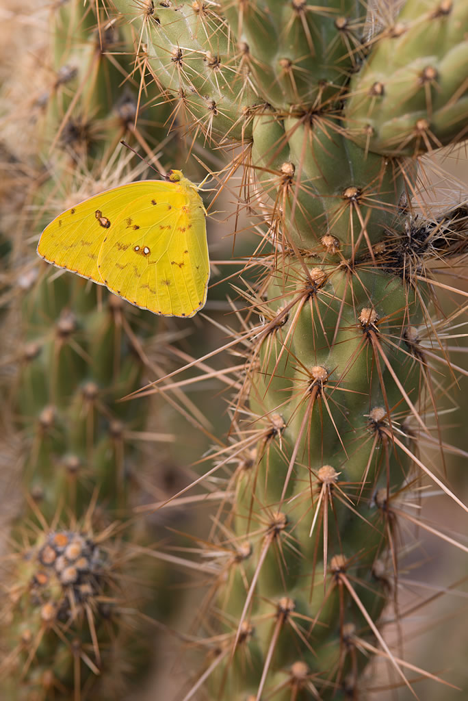 <b>Cloudless sulfur butterly</b>