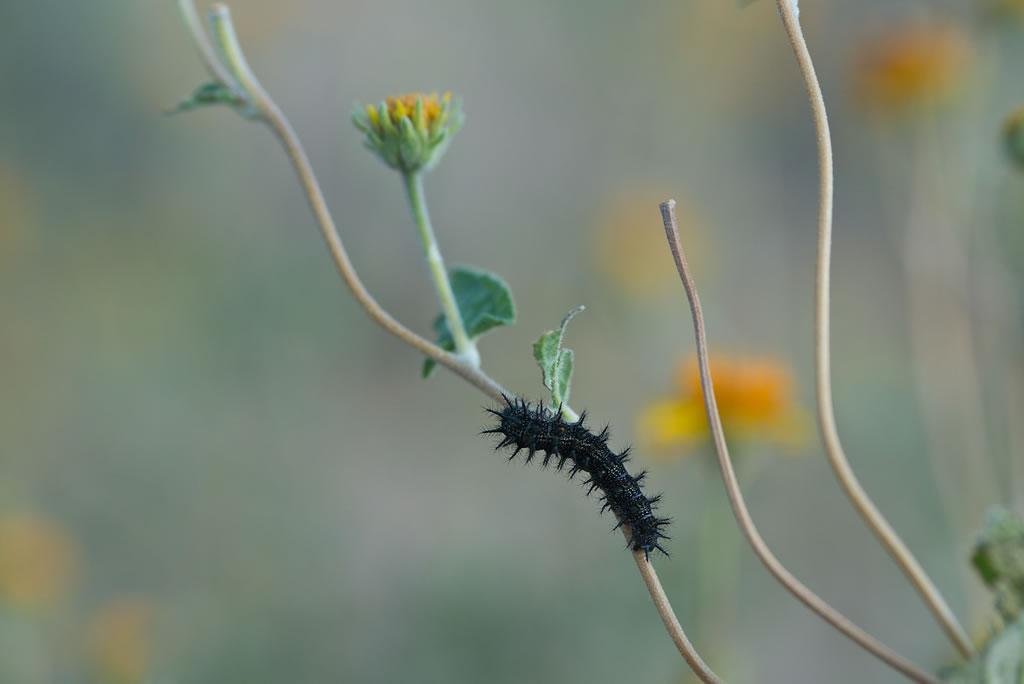 <b>Painted Lady caterpillar</b>