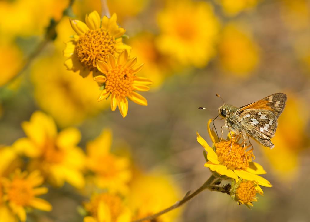 <b>Skipper butterfly</b>