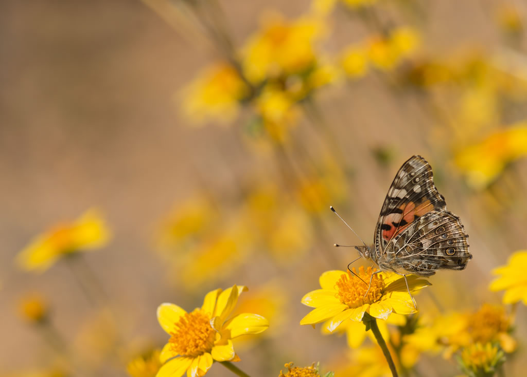 <b>Painted Lady butterfly</b>