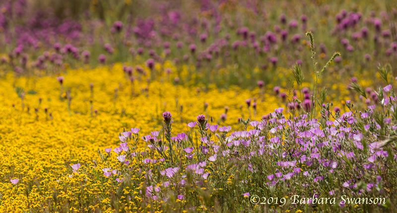 Mallow among goldfields flowers and owl's clover