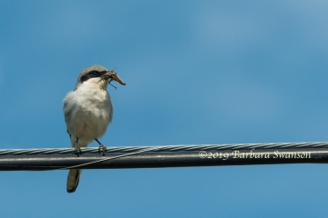 A loggerhead shrike with grasshopper