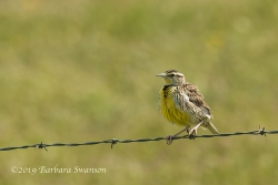A western meadowlark on barbed wire range fence