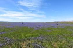"Visitors at the ""Lake of Phacelia"""