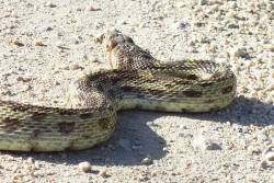 A glossy snake, not often seen in the Carrizo Plain