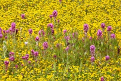 Owl's clover sharing color with goldfields