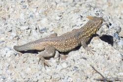 A side-blotched lizard sunning on rip-rap, Soda Lake Road