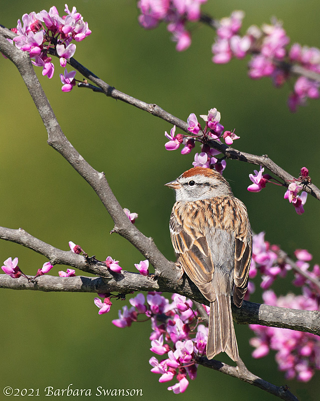 Chipping Sparrow in Redbud Tree,  April 8, 2021