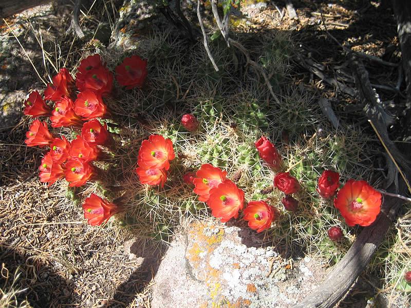 Claret Cup cholla cactus