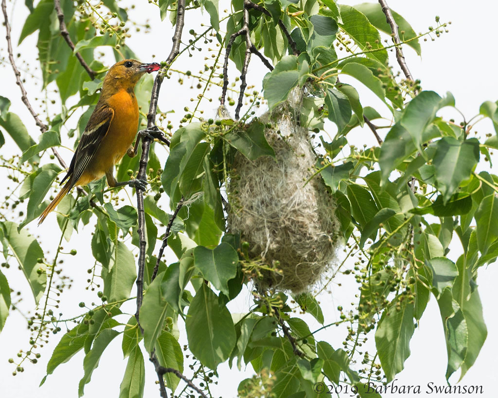 Female Baltimore Oriole with jam at her nest