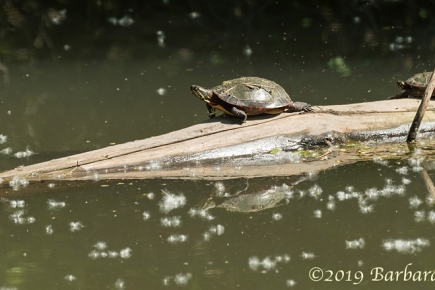 Painted turtles <em>(Chrysemys picta)</em>