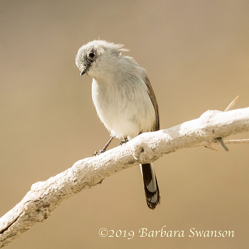 <b>A rarer gnatcatcher</b>