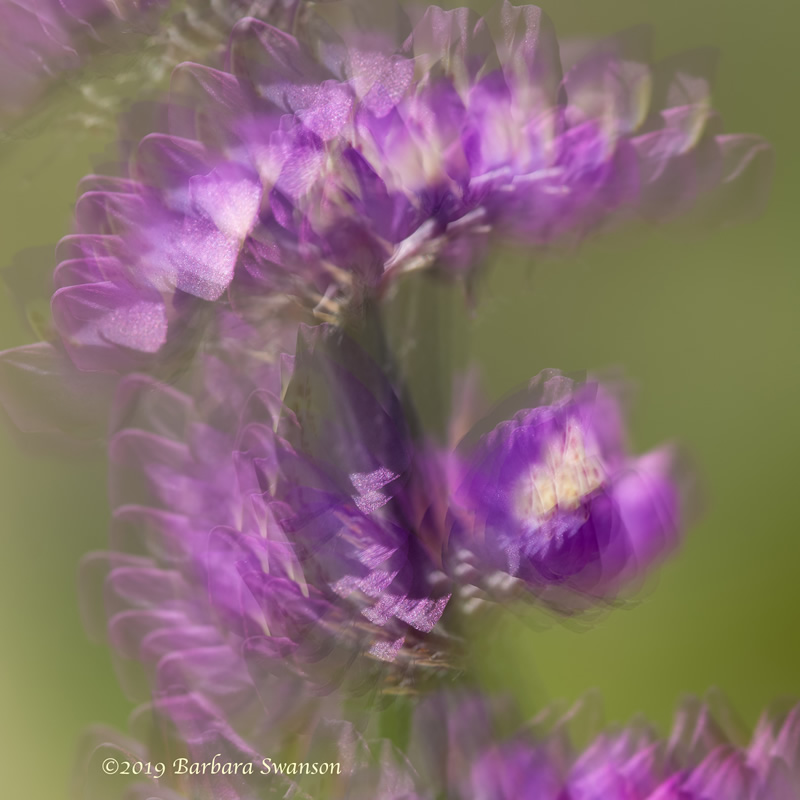 <b>Multiple exposure of an Arizona lupine</b>