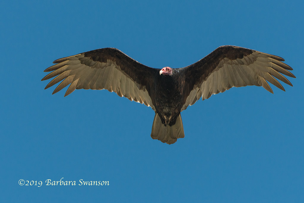 <b>Turkey vulture</b>