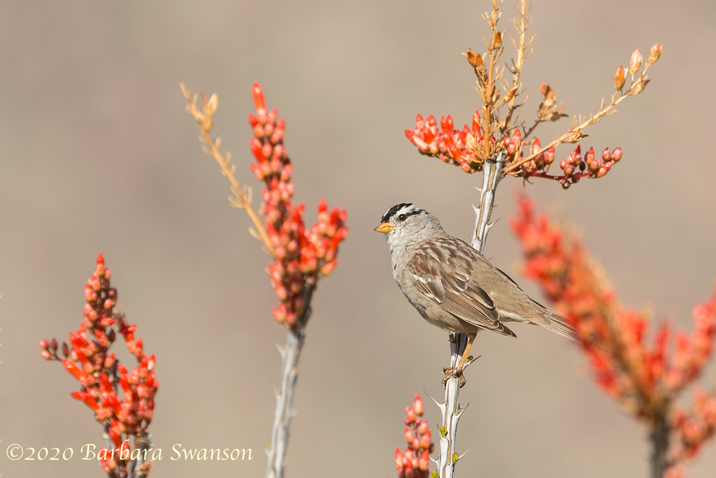 White-crowned sparrow on Ocotillo