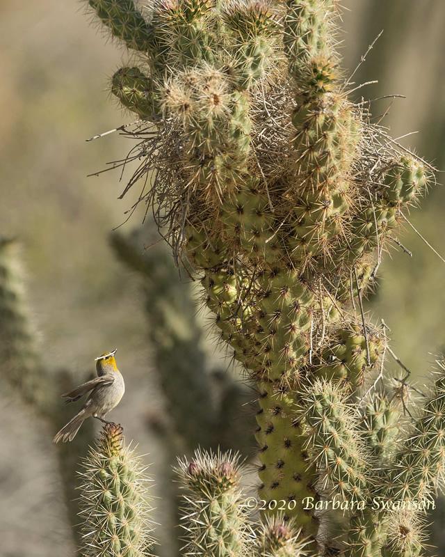 Verdin building nest in cactus