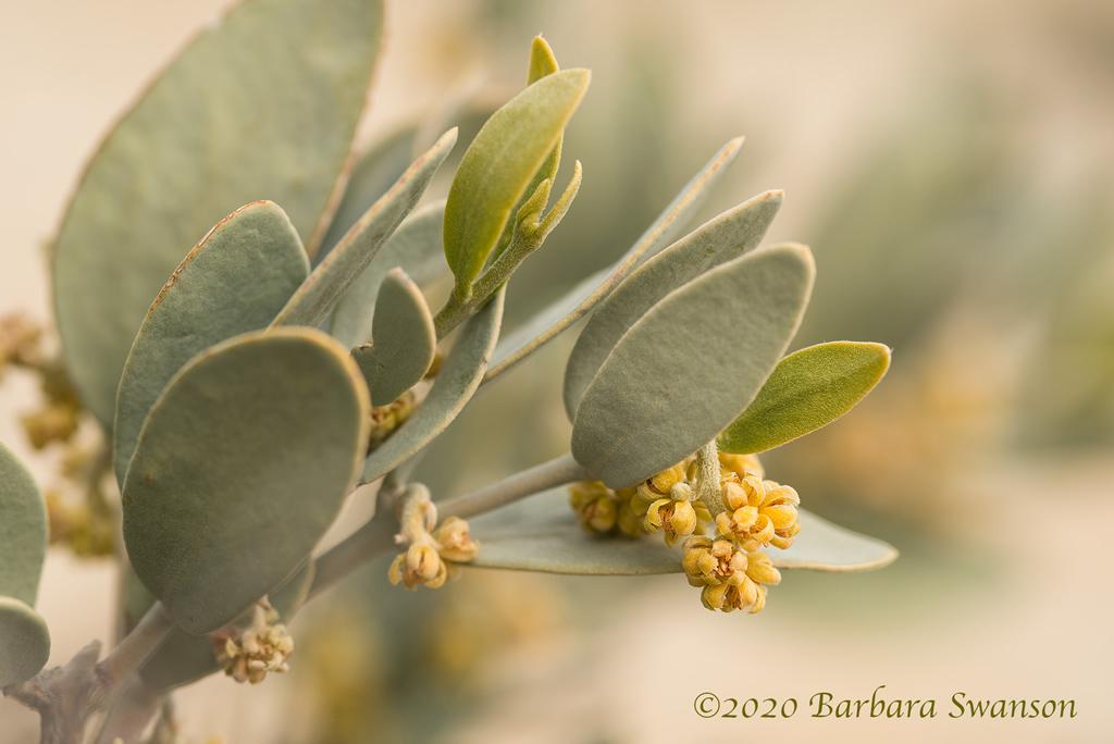 Jojoba <em>(Simmondsia chinensis)</em>