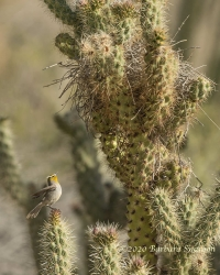 Verdin building nest in cactus