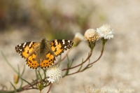 Painted Lady on pincushion flower