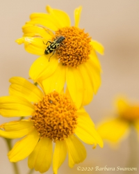 Ornate checkered beetle on brittlebush