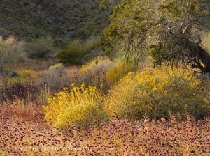 Bright brittlebush in a chia forest