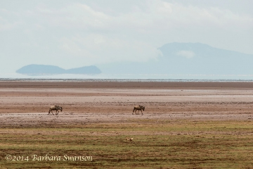 Blue wildebeest <em>(Connochaetes taurinus)</em> on the mud flats of Lake Manyara