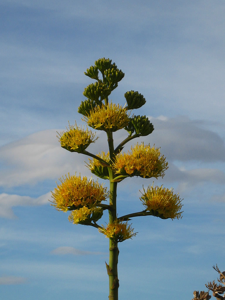 A blooming agave plant against blue pastels sky.