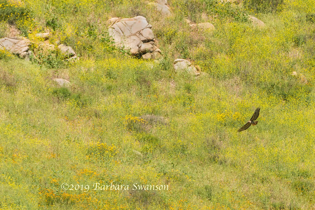 <b>Red-tail hawk</b>