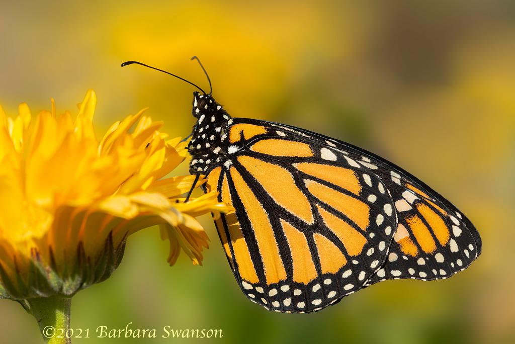 Monarch Butterfly, March 13, 2021
