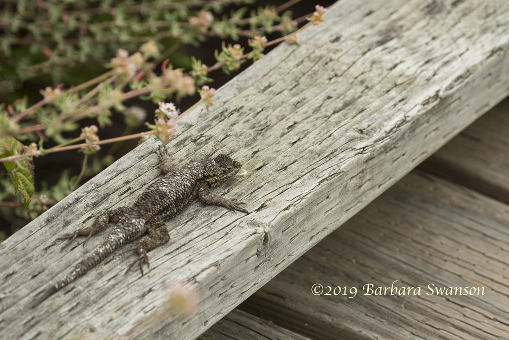 A Coast Range fence lizard catches some sun on the boardwalk