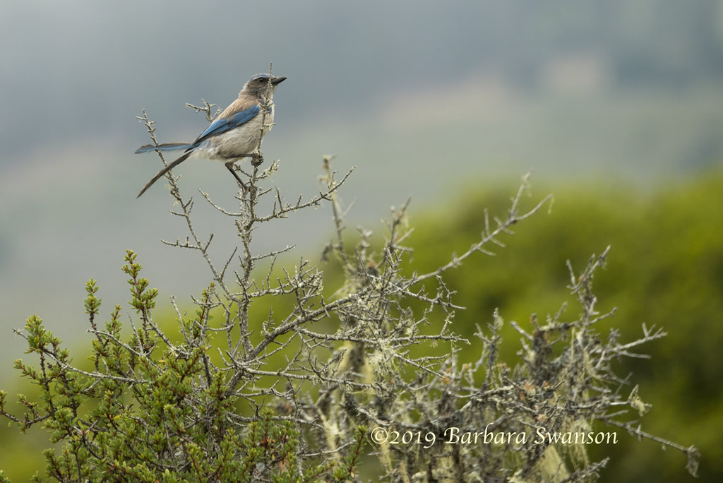 A juvenile California scrub jay surveys her territory