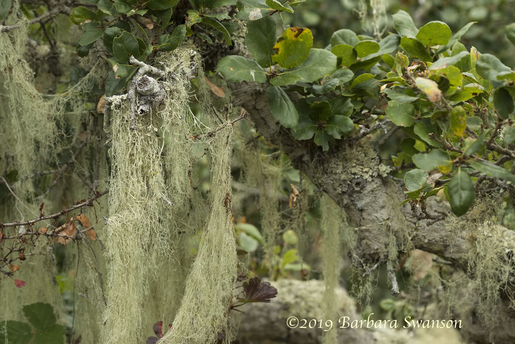 Lace Lichen in a pygmy coast live oak near Siena's View