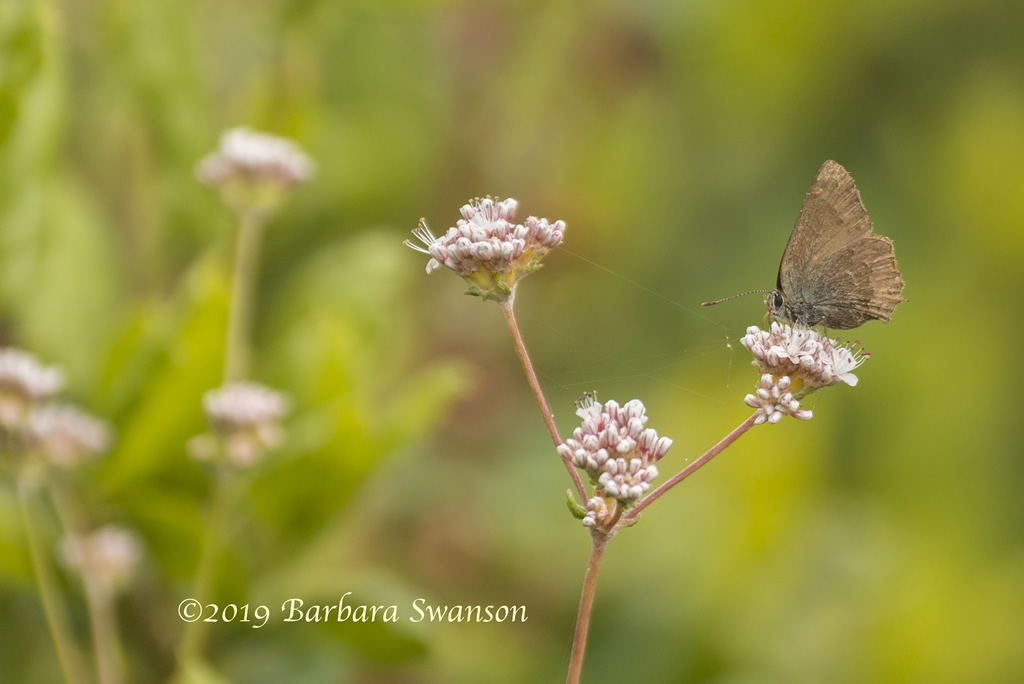 The uncommon Morro Boisduvals butterfly on buckwheat